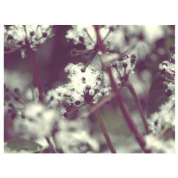 photography flower snow winter retro nature
