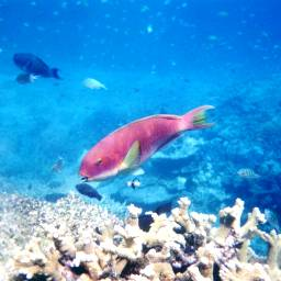 photography nature colorful pets & animals summer sport underwater greatbarrierreef snorkelling australia parrotfish ocean sea tropical