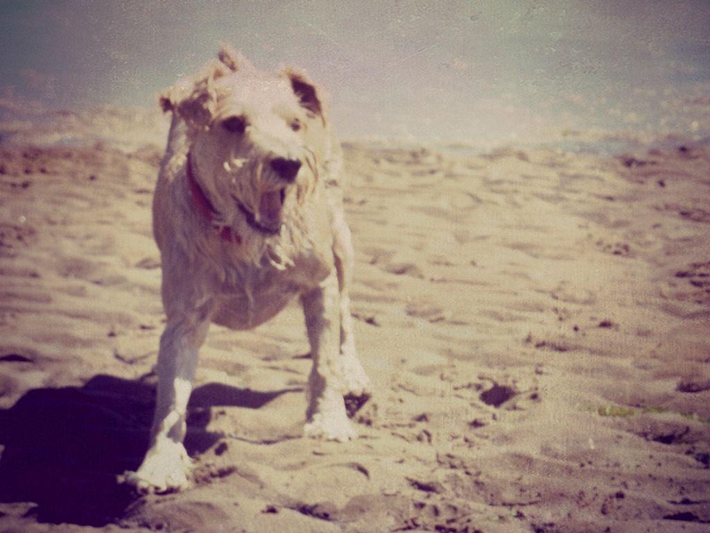 took this a few years ago.. just found it again :)  #beach  #dog