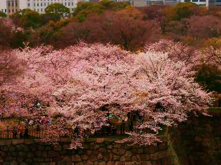 photography japan spring cherry blossom nature flower